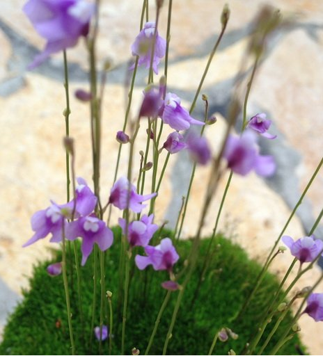 Utricularia minutissima