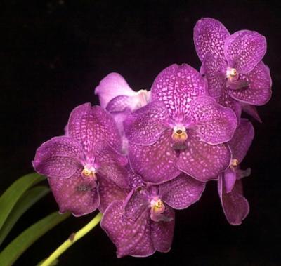 Orhidee Vanda Kasem's Delight - V. Memoria Katherine McCarthney