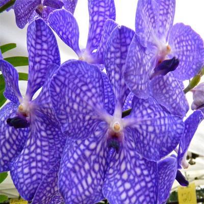 Orchidee Vanda kultana blue