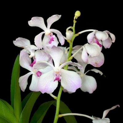 Orchidee Vanda Nakornsawan bella X V. luzonica
