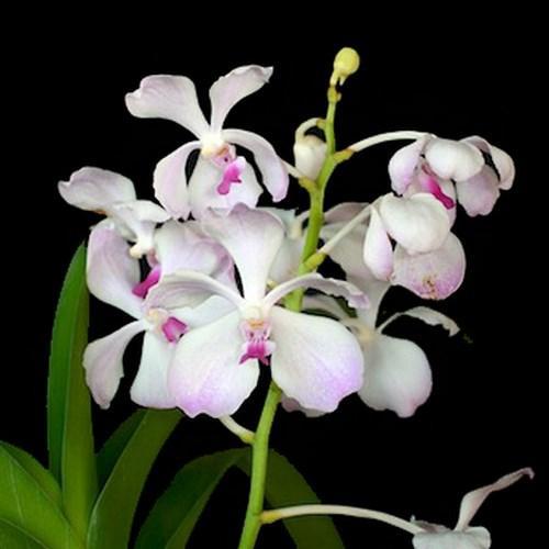 Orquídea Vanda Nakornsawan bella X V. luzonica