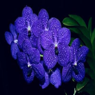 Orchid Vanda Patchara Delight