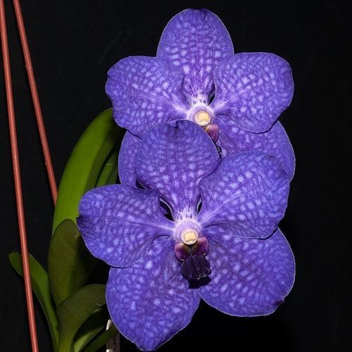 Orchid Vanda Bangkok Blue