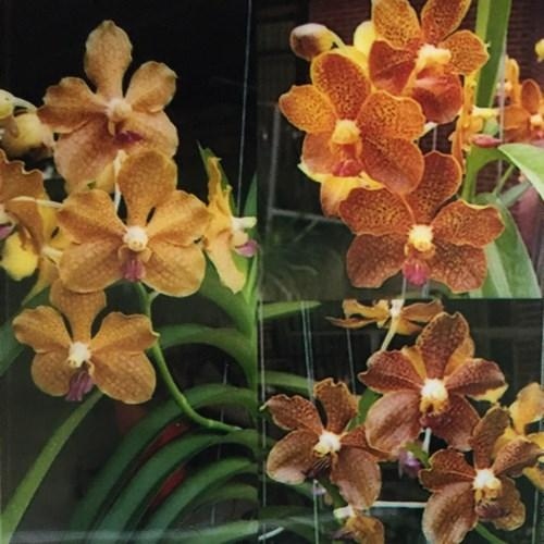 Orhidee Vanda Aurawan x Tessellata blue