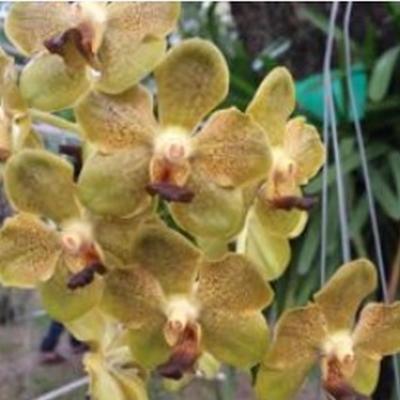 Orchidee Ascocenda Suksamran Gold x V. tesellata