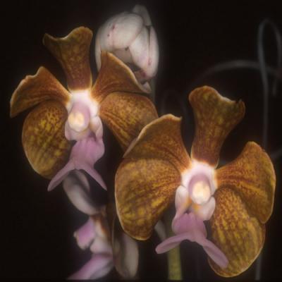 Orchidée Vanda bensonii
