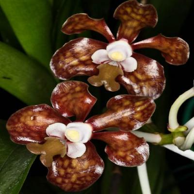 Orchidée Vanda brunnea