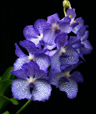 Orchid Vanda coerulea
