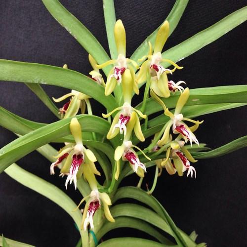 Orchid Vanda cristata