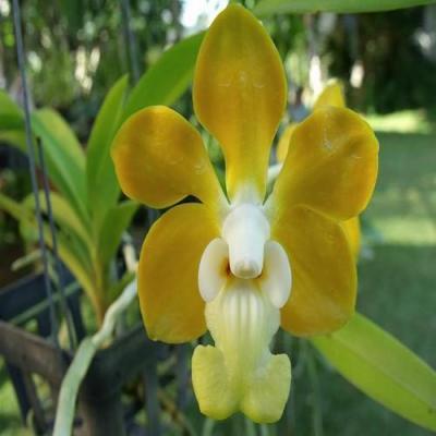 Orhidee Vanda Denisoniana