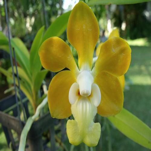 Orchidee Vanda Denisoniana
