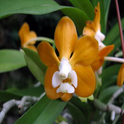 Orchidée Vanda mem Tienchai x V denisoniana