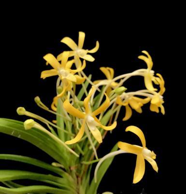 Orchidée Vanda falcata kibana