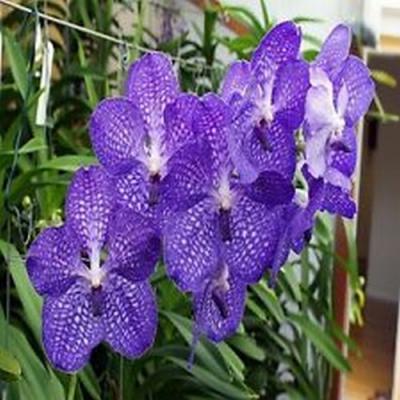 Orchidea Vanda Fantastic fanfare X Vanda Coerulea