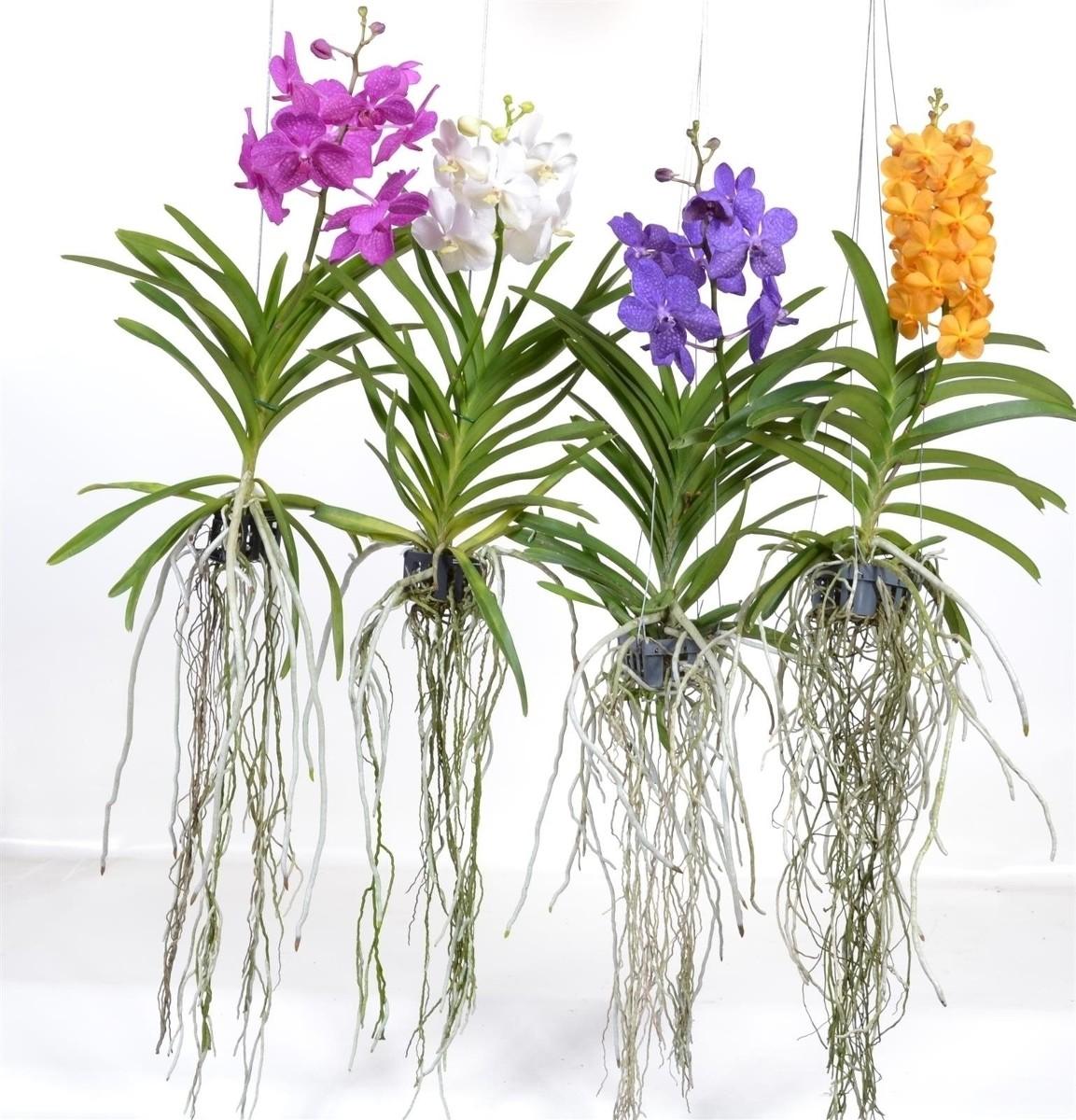Vanda fleurie orchidee livraison 2
