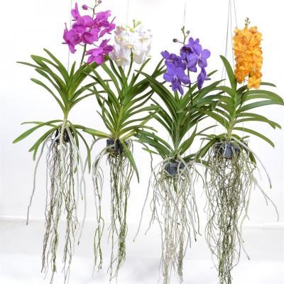 Orchidée Vanda fleurie