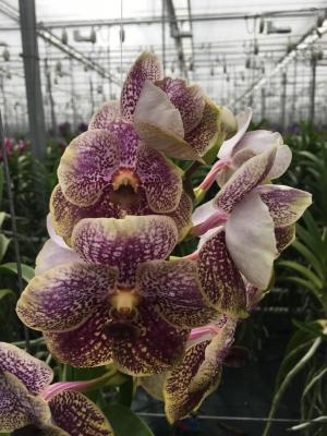 Vanda golden burgundy