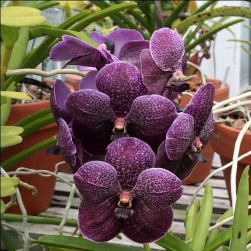 Orchid Vanda Kasem's Delight AM x V. Memoria Katherine McCartney