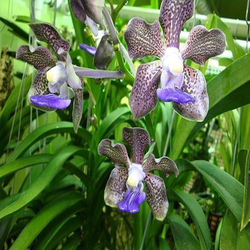 Orchidea Vanda kultana fragrance