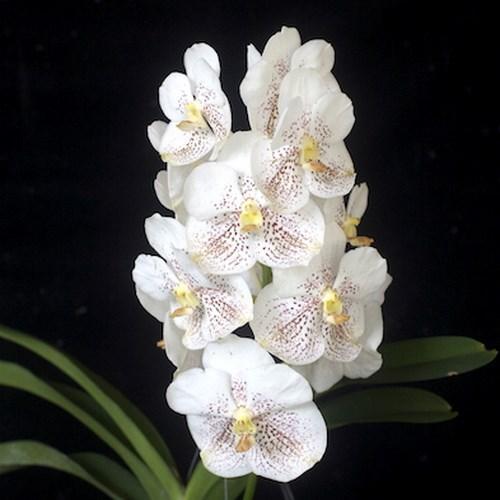 Orchidee Vanda  Kultana Gold 'White Spot