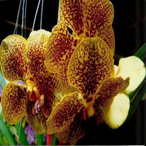 Orquídea Vanda kultana brown
