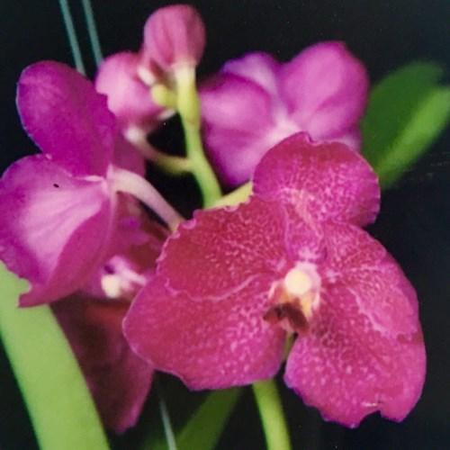 Orchidee Vanda kultana purplish Fushia