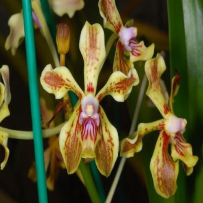 Orquídea Vanda lamellata