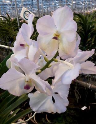 Orhidee Vanda Lavander Blush
