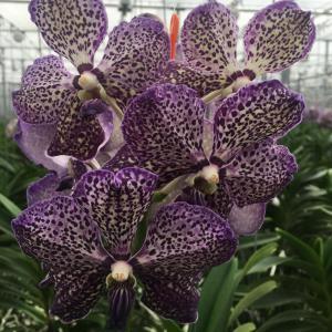 Vanda lilac starlight