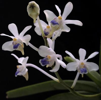 Orhidee Vanda lilacina