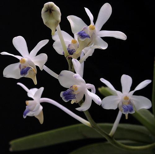 Orchid Vanda lilacina