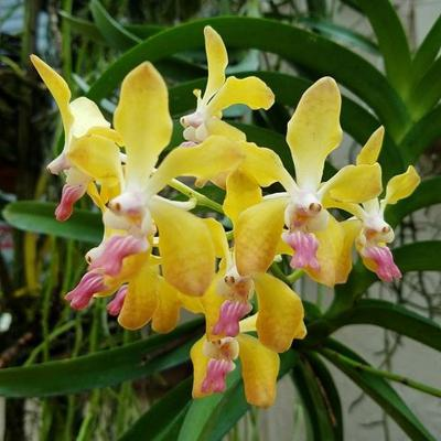 Orchidea Vanda memoria tienchai x lamellata
