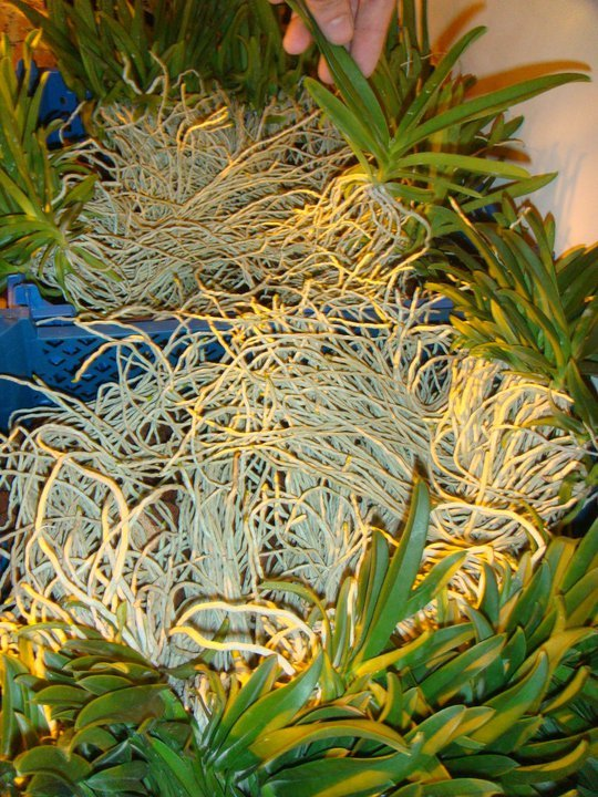 vanda-orchid-seedling-orchidee-orchideen-buy-online-orchids.jpg