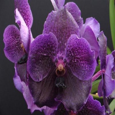 Orchidée Vanda pure wax blue
