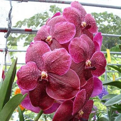 Orchid Vanda robert's delight dark red