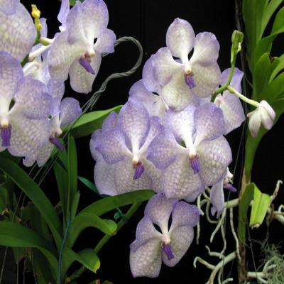 Orchidée Vanda rothschildiana