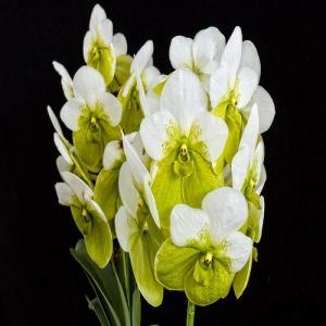 Vanda sanderiana alba vente orchidee rare