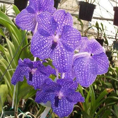 Orquídea Vanda Bangyeekhan red x V Coerulea
