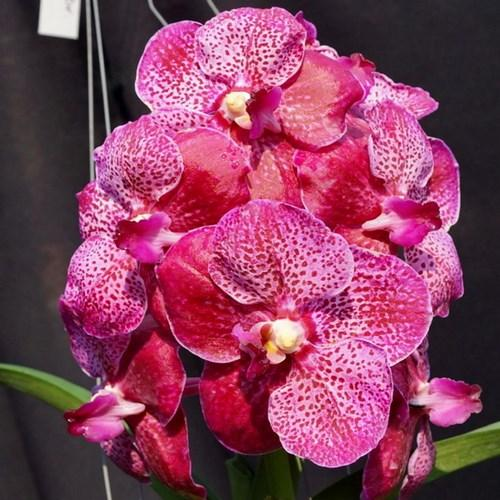 Orchid Vanda Similan x V Doctor anek