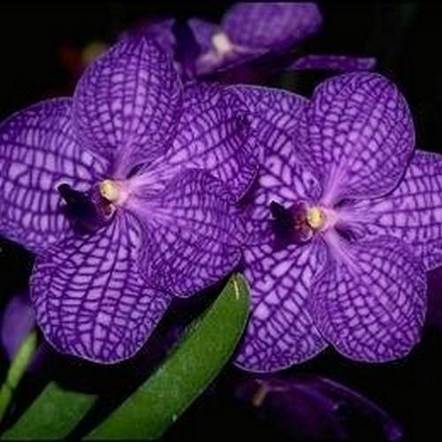 Orhidee Vanda somsri blue classic