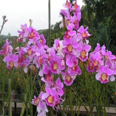 Orchidée Vanda teres