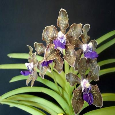 Orchidée Vanda tessellata blue