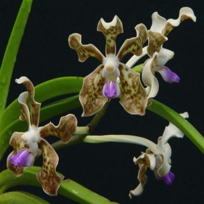 Orchidea Vanda tessellata