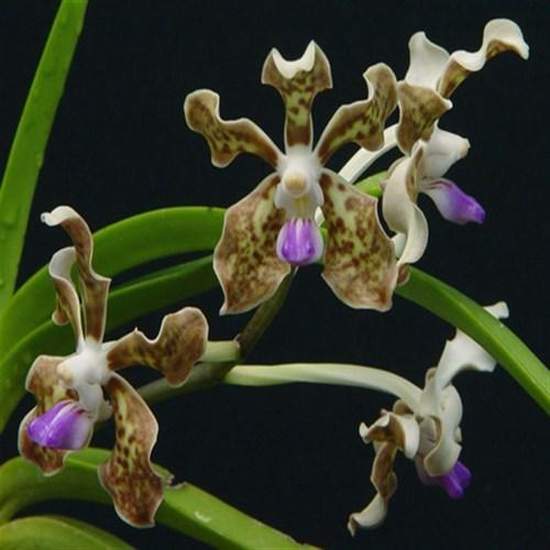 Orchid Vanda tessellata