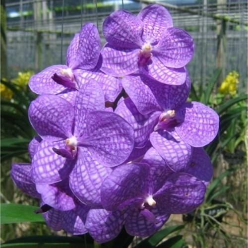 Orchid Vanda tharab blue