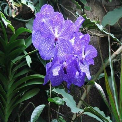 Orhidee Vanda tokyo blue