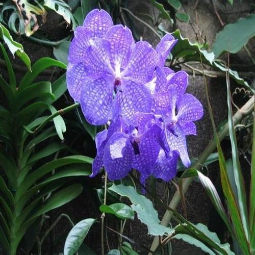 Orchid Vanda tokyo blue