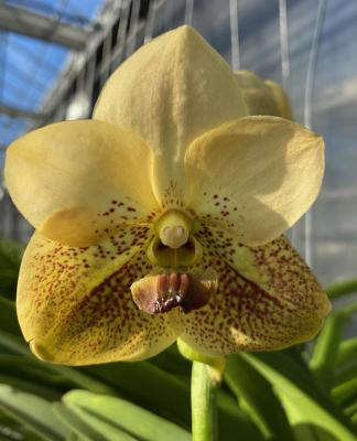 Orchidee Vanda Two Tone Yellow