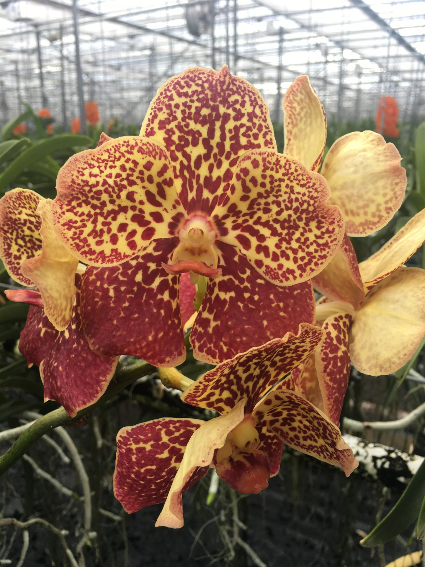 Vanda yellow spotty