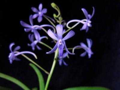 Orchidée Vandachostylis rainbow stars blue